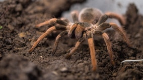 Thousands of tarantulas expected to crawl through Colorado in mass migration