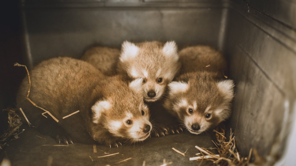 A 'unique situation': Red panda triplets born in Virginia