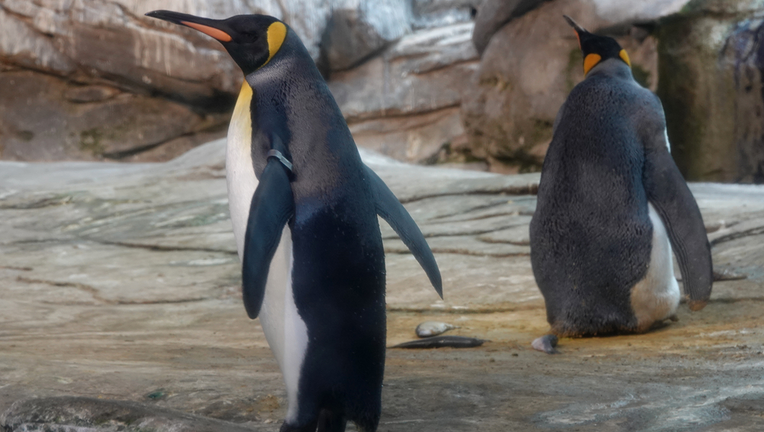 Gay penguins adopt egg after attempting to hatch stones at