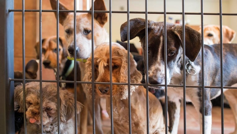 Guest dogs in Pino Puglisi's dog hotel Paradiso look on as a new guest dog arrives in Ludwigsburg, southwestern Germany, on a October 13, 2017. Dog owners can bring their pets to dog hotel Paradiso in Ludwigsburg for day care or longer time periods like vacation. / AFP PHOTO / THOMAS KIENZLE (Photo credit should read THOMAS KIENZLE/AFP/Getty Images)