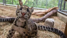 National Zoo introduces two rare clouded leopard cubs