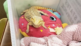 Florida school finds stowaway in student's backpack: a bearded dragon