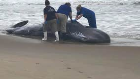 Beached whale in Ocean City dies