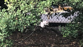 Albino squirrel catches tourists' attention on the National Mall