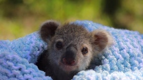 Koala joey makes adorable debut at Australian zoo
