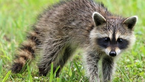 Rockville police looking for raccoon after child, dog were bitten Monday morning