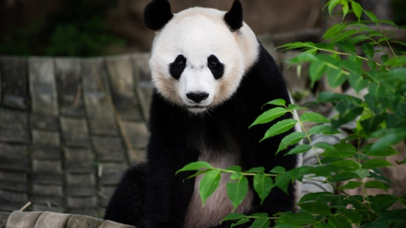 Giant panda Bei Bei to leave National Zoo in November