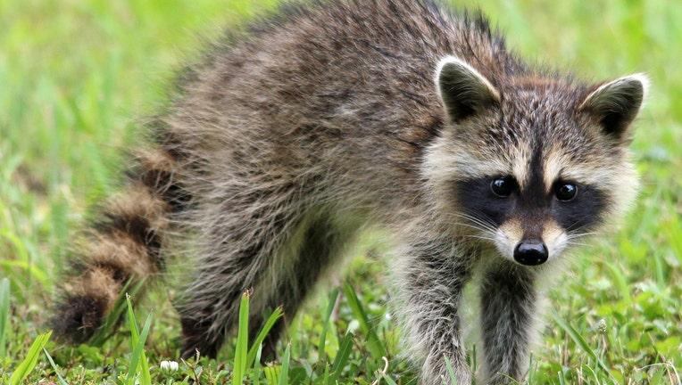 Raccoon_1520991052319_5086119_ver1.0_1280_720.jpg
