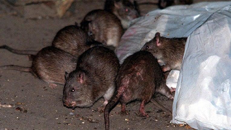 rats-nyc_1487127527015_2750815_ver1.0_1280_720.jpg