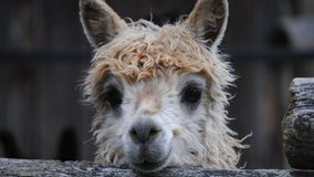 So fluffy! Alpaca expo coming to Fredericksburg this weekend