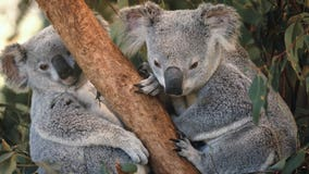 About 350 koalas feared dead in raging Australian wildfires