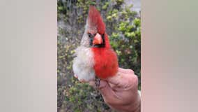 Cardinal with rare abnormality discovered in central Texas