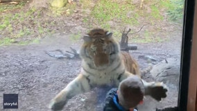 Close Call: Video shows Siberian tiger lunging at boy visiting zoo with family
