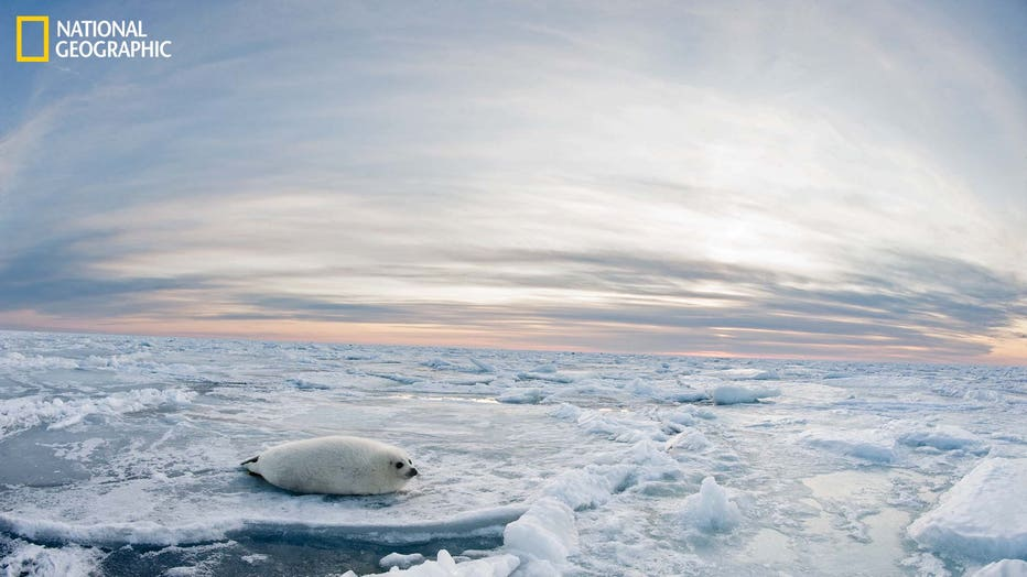 MAGDALENISLANDS-Harp-Seal-March-2012-Jennifer-Hayes-04517-16x9.jpg