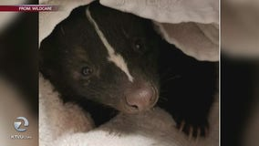 Stinky surprise: Skunk gets stuck in Mill Valley dryer vent