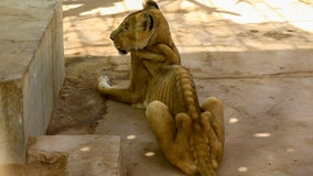 Starving lions in Sudan park prompt worldwide campaign to save them