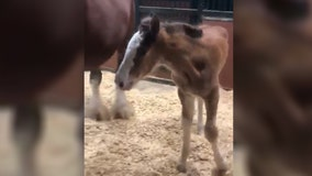 Meet Rynee, the Budweiser Clydesdales' first foal of 2020