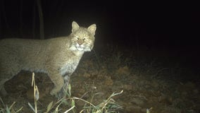 Bobcat caught on camera in the District