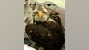 Stafford County deputies rescue injured bald eagle