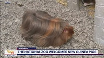 National Zoo welcomes new guinea pigs