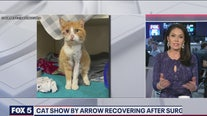 Cat shot by arrow recovering after surgery