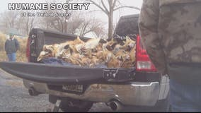 Warning: This video may be disturbing to some. What's behind HSUS's graphic video of dead foxes?