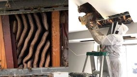 Massive 8-foot-long beehive discovered in ceiling of Virginia apartment