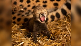 Smithsonian, Ohio zoo team up for world's first in vitro cheetah cubs