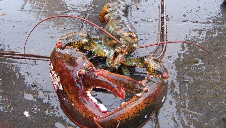 A lobster seen from the front