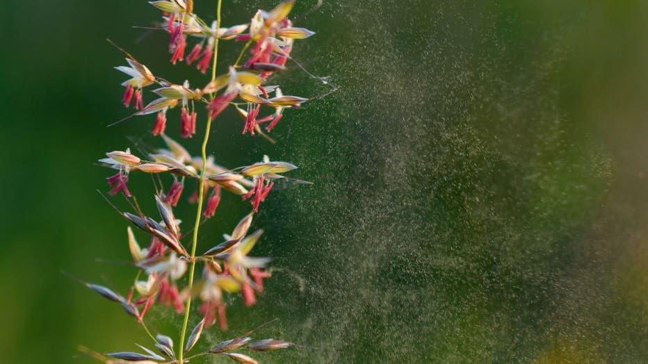 Grass pollen