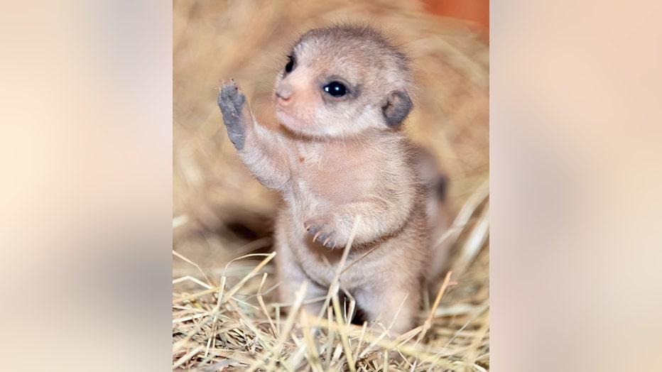 miami-baby-meerkats-4.jpg