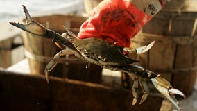 Additional H-2B visas to be released to help Maryland's seafood industry ahead of blue crab season