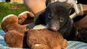 Brevard zoo staff raising orphaned bear cub