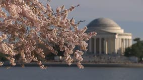 Cherry Blossom Festival details announced; find out the peak bloom dates