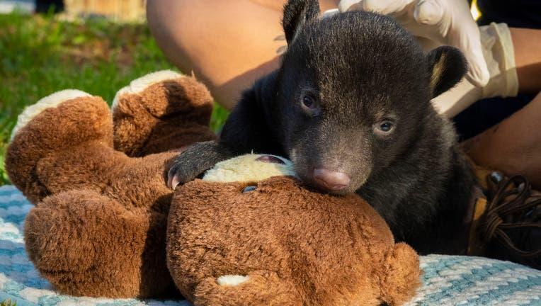 Orphaned Bear Cub 3
