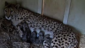 Welcome little ones! Four cheetah cubs born at the Smithsonian Conservation Biology Institute