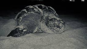 Vulnerable sea turtles flourishing during coronavirus restrictions in Florida