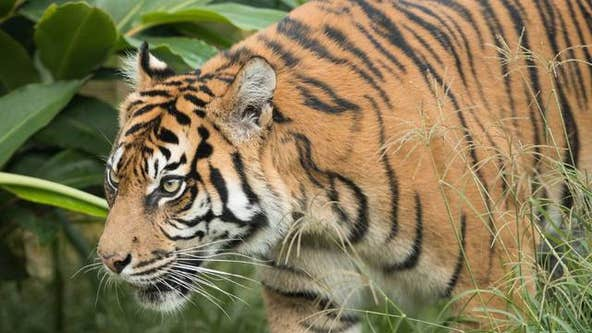 2 tigers at Virginia zoo test positive for COVID-19