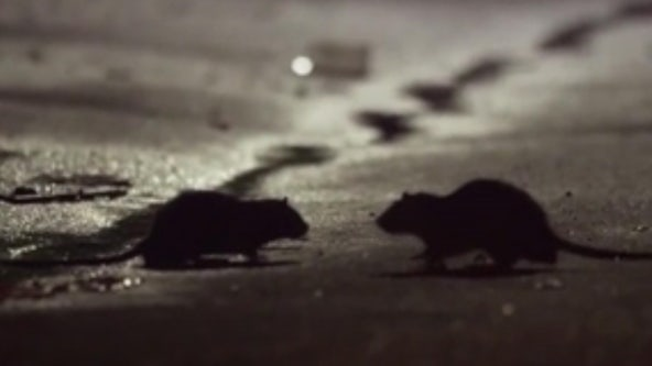 Rat sightings could rise amid coronavirus outbreak, experts say