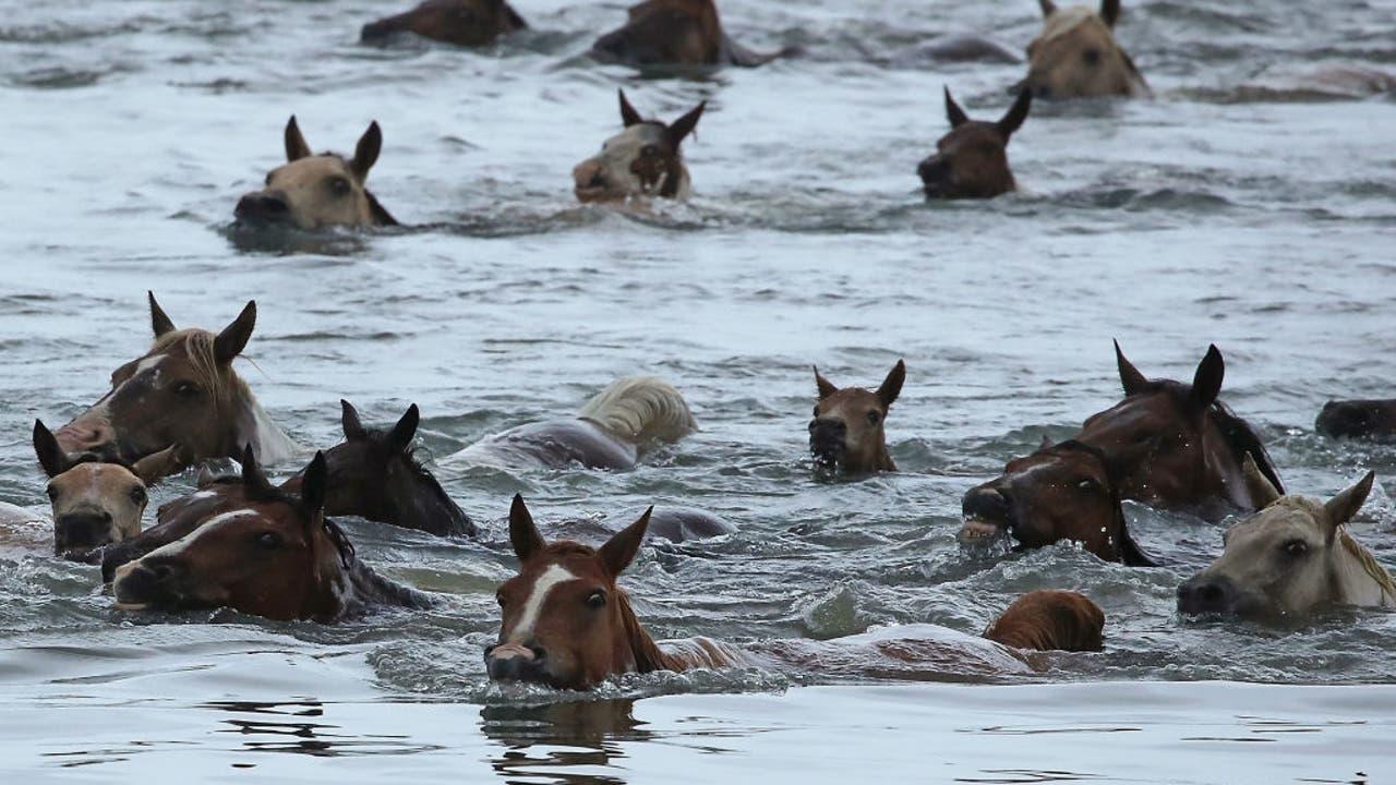 Chincoteague Island Pony Swim Canceled