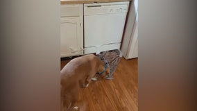 Very good pit bull helps clean up overflowing bubbles with towels after dishwasher mishap