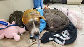 Severely abused bait dog saved by Florida rescue group