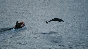 Oldest solitary dolphin happy for human contact amid COVID-19 pandemic