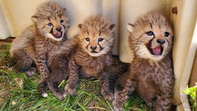 Smithsonian's National Zoo asks for public's help naming cheetah cubs