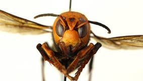 Bug experts dismiss worry about US 'murder hornets' as hype