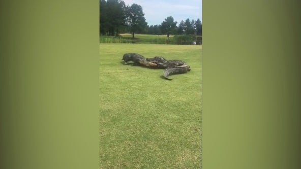 'The fight went on for 2 hours': Golfers capture video of alligator brawl on SC golf course