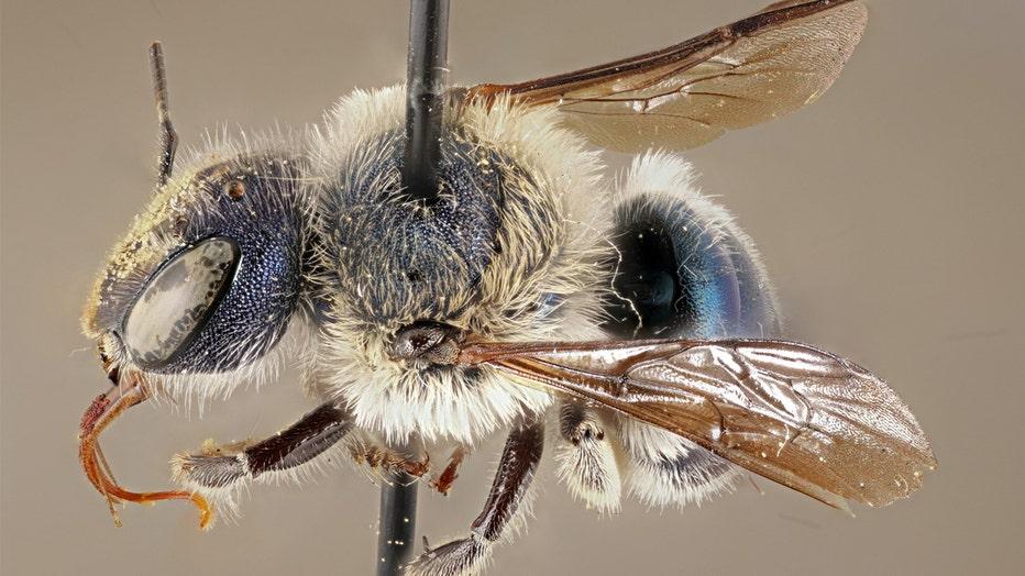 rare blue bee