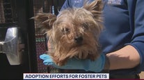 Adoption efforts for foster pets