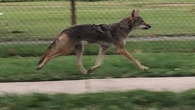Coyote spotted on National Mall in DC