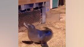 'Wow, You Can Really Dance': Georgia Aquarium sea lion shows off moves